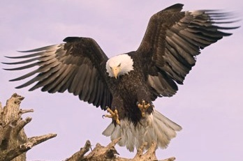 big bird, Bald Eagle, Haliaeetus leucocephalus, Alaska, Homer, USA