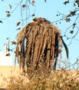 Particolare,  presso il giardino del   Museu de Arte Contemporânea da Fundação de Serralves       Porto Portugal , di palma 'implosa' ormai morta a causa del famigerato coleottero ; il 'punteruolo rosso' ( Rhynchophorus ferrugineus ) diffusosi dall'Asia in tutta Europa, Italia compresa.